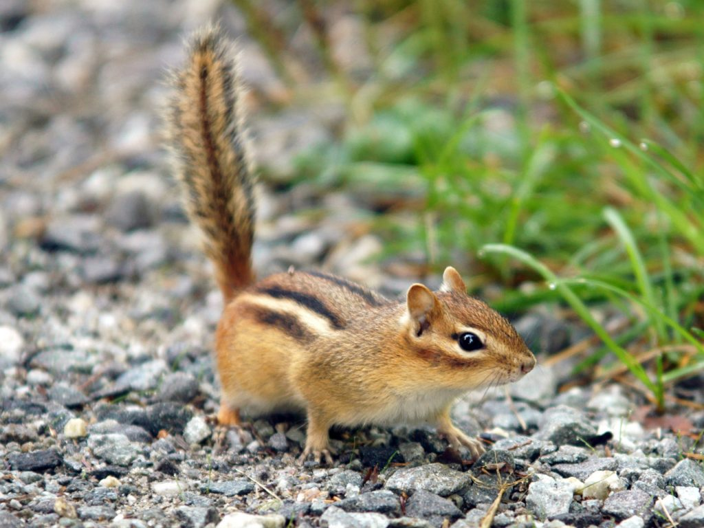 Chipmunk Removal